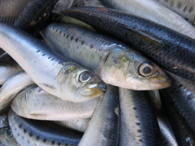 イワシやサンマ・サバなどの青魚