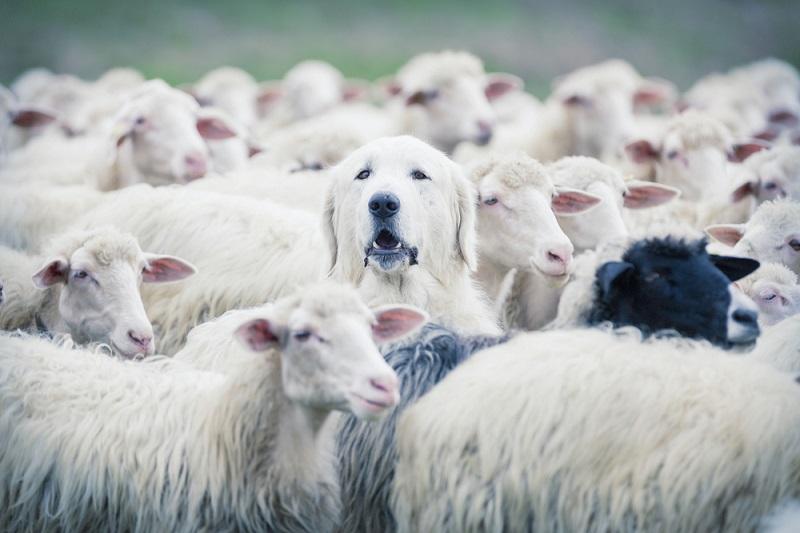 羊の群れ 犬
