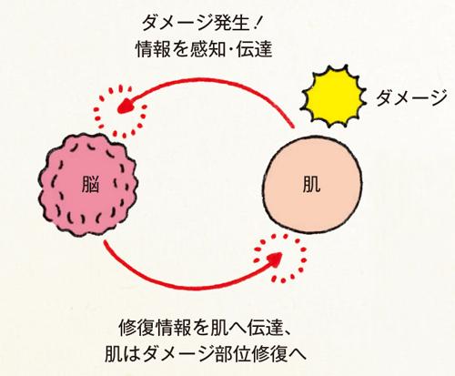 「ランゲルハンス細胞」が外敵を察知し、異物から肌を守る