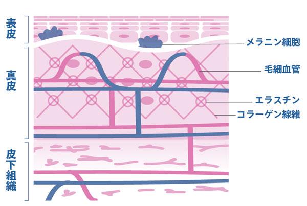 皮膚の3層構造