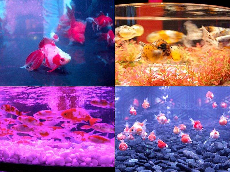 アートアクアリウム2019 金魚