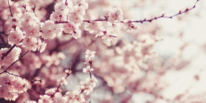 明治・大正は桜の木の下で